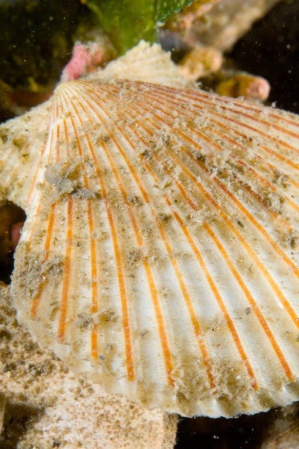 Concha de zamburiña en el mar