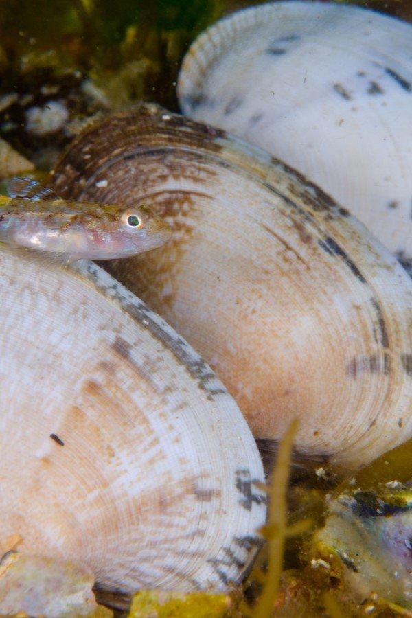 almejas en el agua de mar