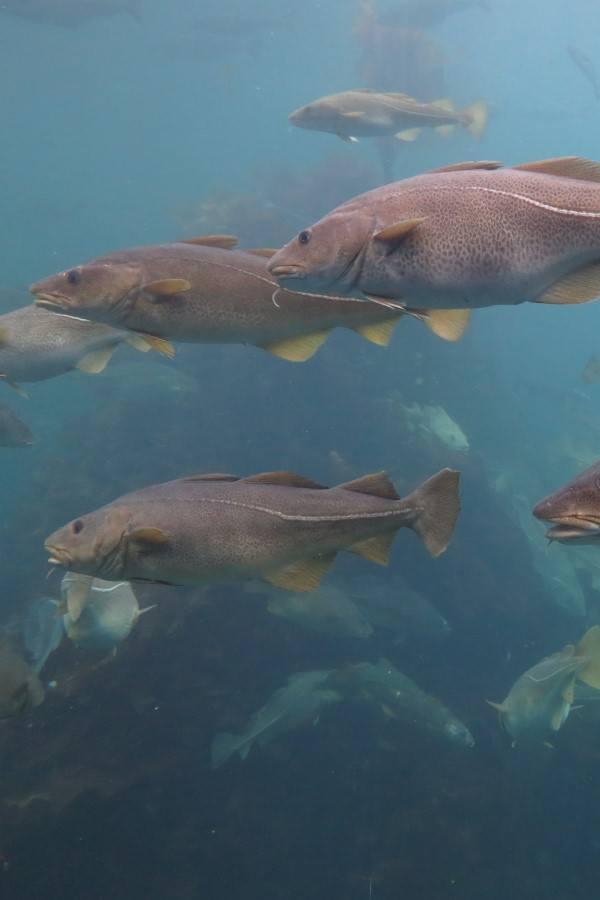 bacalao atlántico gadus morhuar