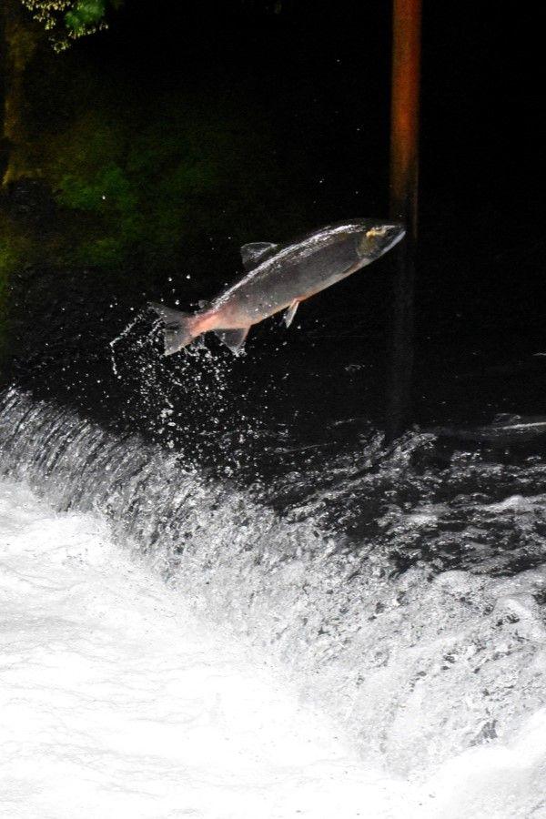 Trucha saltando en salto de río