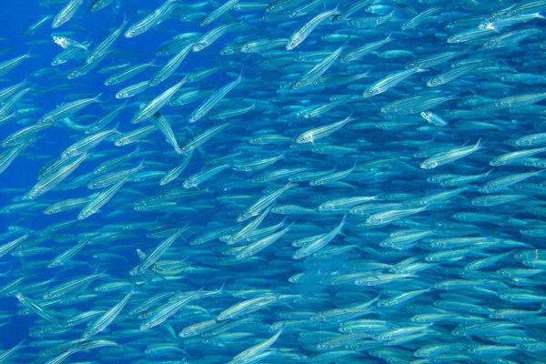 sardinas-diabeticos
